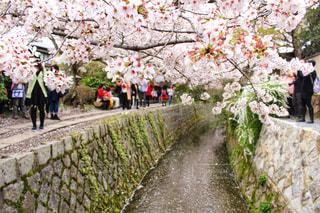 春の哲学の道の写真・画像素材[1832049]