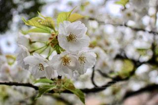 自然,風景,春,桜,白,季節,花見