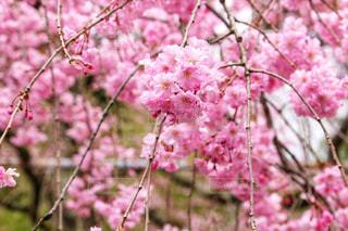 京都の平野神社のしだれ桜の写真・画像素材[1832123]