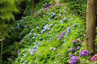 花,植物,紫陽花,梅雨,アジサイ