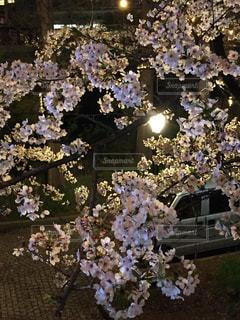 花,春,桜,夜,花見,夜桜,お花見,街灯,さくら,桜ノ宮,ブロッサム