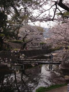 自然,花,春,桜,屋外,川,花見,樹木,お花見,夙川,さくら