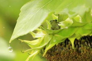 雨宿りのカエルの写真・画像素材[812112]