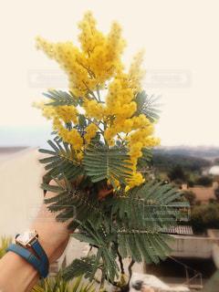 黄色,ミモザ,イエロー,mimosa