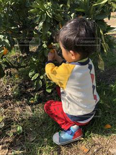 子供,フルーツ,人,みかん,フレッシュ,味覚狩り,3歳,みかん狩り,未就園児