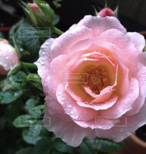 雨露滴る薔薇の写真・画像素材[1809799]