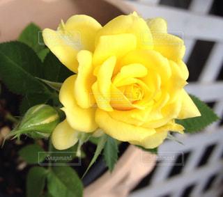 花,綺麗,黄色,バラ,ガーデニング,薔薇,元気,可愛い,幸せ,yellow,明るい気持ち