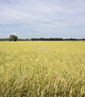 黄色,田舎,稲穂,田んぼ,幸せ,一面,実り,yellow