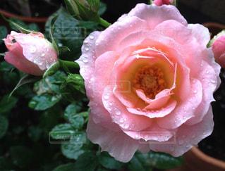 雨上がりの薔薇の写真・画像素材[1876441]