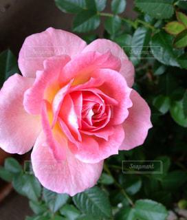 ピンクの薔薇の写真・画像素材[1885121]
