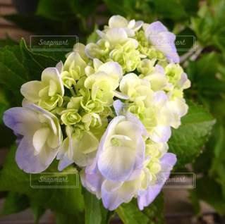 薄紫の紫陽花の写真・画像素材[3377709]