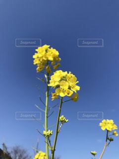 菜の花と青空の写真・画像素材[1828560]