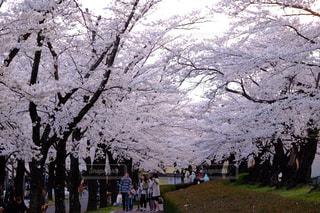 自然,風景,公園,春,桜,屋外,花見,景色,樹木,お花見,福島県,桜の花,さくら,郡山市,開成山公園