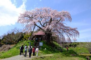 自然,春,桜,屋外,花見,景色,お花見,福島県,桜の花,さくら,郡山市,上石の不動桜