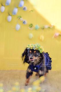 犬,花,動物,かわいい,ミニチュア,ミモザ,花冠