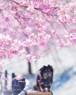 風景,花,春,かわいい,ミニチュア,チワックス,河津桜,春色