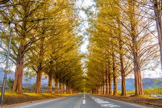 屋外,散歩,樹木,メタセコイヤ,メタセコイヤ並木
