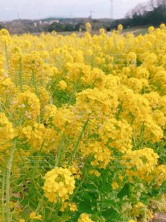 花,春,花畑,黄色,菜の花,イエロー,名古屋市