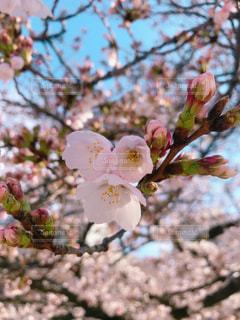 風景,公園,花,春,桜,花見,つぼみ,草木