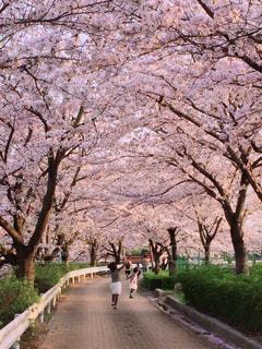花,春,桜,ピンク,散歩,花見,桜並木,子供,愛知県,3月