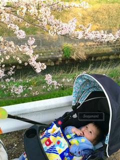 自然,公園,花,春,桜,屋外,ピンク,緑,散歩,葉,花見,人物,人,赤ちゃん,ベビーカー