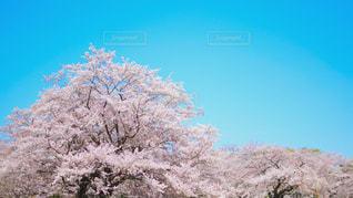 青空と桜の写真・画像素材[2027902]