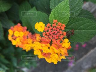 黄色,リボン,可愛い,蝶々,ランタナ,りぼん