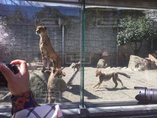 カメラ,動物,黄色,子供,動物園,カメラマン,チーター,多摩動物公園,多摩ズー,五つ子