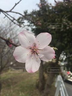 花,春,ピンク,花見,アーモンド