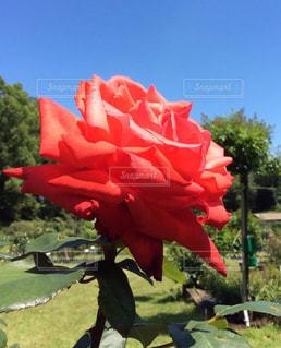 赤いバラの写真・画像素材[1885975]