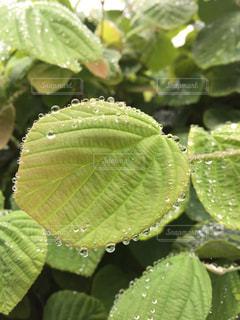 雨,ウォーキング,水滴,雫,グリーン,きらめき,はじく,色・表現