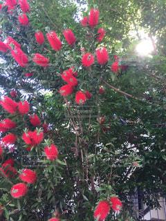 ブラシの木の写真・画像素材[2155542]