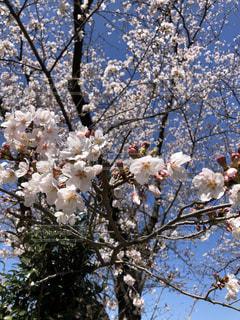花,春,青空,桜並木,樹木,桜の花,さくら,ブロッサム