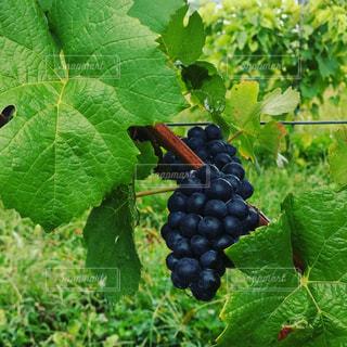ワイン,農業,収穫,ぶどう,ピノ・ノワール