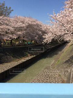 自然,春,桜,屋外,樹木