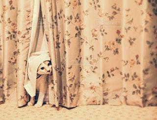 三毛猫とカーテンの写真・画像素材[2165454]