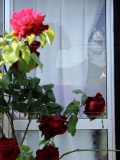 薔薇。そして、猫。の写真・画像素材[2495213]