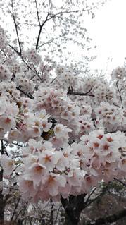 満開,お花見,さくら,大山崎