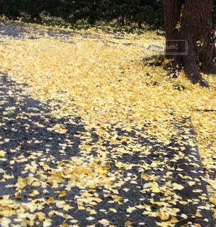 黄色,落ち葉,イチョウ