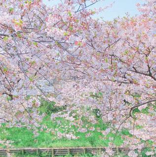 春,桜,ピンク,お花見
