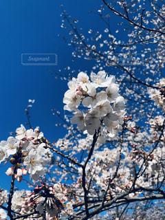 春,桜,お花,サクラ,お花見,イベント,さくら