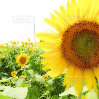 風景,花,夏,お花畑,ひまわり,晴れ,黄色,鮮やか,向日葵,イエロー,ひまわり畑,flowers,草木,sunflower,yellow,フォトジェニック