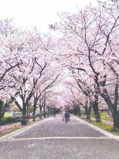 公園,花,春,桜,屋外,ピンク,フラワー,散歩,花見,お花見,flowers,桜の花,フォトジェニック,ブロッサム