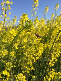 春,黄色,菜の花,蜂