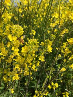 春,黄色,菜の花,花見,蜂,ミツバチ,受粉