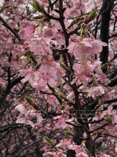風景,桜,雨,ピンク,水滴,花見,河津桜,三月,函南