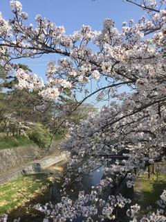 春,桜,木,かわいい,綺麗,景色,満開,樹木,お花見,夙川,眺め,日中,西宮,素晴らしい