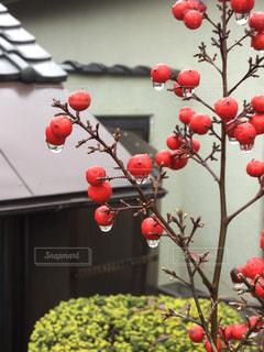 冬,植物,赤,かわいい,綺麗,水滴,美しい,植木,可愛い,赤い実,日本庭園,雨上がり,日本家屋,南天,しずく,お庭,蔵