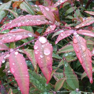 冬,緑,植物,赤,綺麗,葉っぱ,水滴,美しい,植木,日本庭園,雨上がり,南天,しずく,お庭,南天の葉