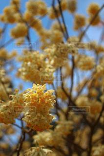 花,黄色,樹木,イエロー,和紙,草木,ミツマタ